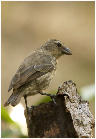 insect eating mangrove finch