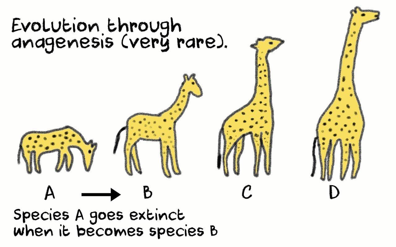 anagenesis gradual evolution