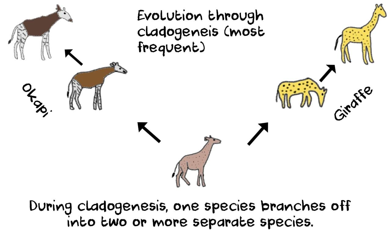 cladogenesis okapi giraffe