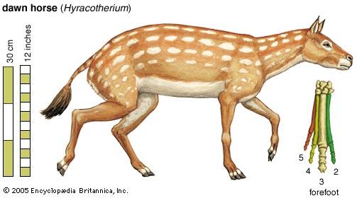 hyracotherium eohippus